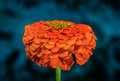 Blue background Orange zinnia flower garden Royalty Free Stock Photo