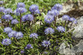 Blue balls or globular globularia cordifolia flowers in the german alps Stock Photography