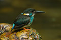 Blue-banded Kingfisher Royalty Free Stock Photo