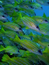 Blue banded Snappers Stock Images