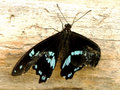 Blue banded swallowtail butterfly a close up view of a with damaged wings Stock Photos