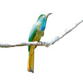 Blue bearded bee eater bird beautiful green pitta nyctyornis athertoni perching on a branch breast profile Royalty Free Stock Photography