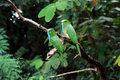 Blue bearded bee eater bird in thailand Royalty Free Stock Photo