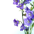 Blue bell flower Royalty Free Stock Photo