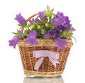 Blue bell flowers in basket Royalty Free Stock Image