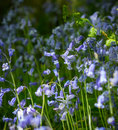 Blue bell flowers image of in a woodland Stock Photography