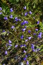 Blue bell flowers on a mountain meadow Royalty Free Stock Photo