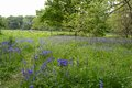 Blue bell wood spring time uk Royalty Free Stock Image