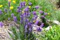 Blue bellflowers blooming in the garden with yellow flowers in the background on a stony ground