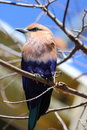 Blue Bellied Roller Royalty Free Stock Photography