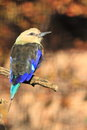 Blue bellied roller the sitting on the branch Stock Photos