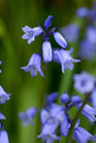 Blue bells Royalty Free Stock Photo