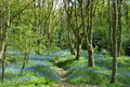 Blue Bells Along a Woodland Path Royalty Free Stock Photo