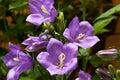 Blue bells flowering in garden Stock Photos