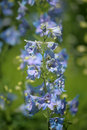 Blue bells large in the garden Royalty Free Stock Photography