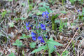 Blue bells small spring in the wood Royalty Free Stock Photos