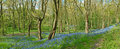 Blue Bells in the Wood Royalty Free Stock Photo