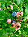 Blue berry delite Royalty Free Stock Photo