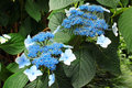 Blue bigleaf hydrangea (Hydrangea macrophylla) flowers Royalty Free Stock Photo