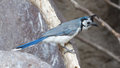 Blue bird calocitta formosa perching on a branch white throated magpie jay Royalty Free Stock Image