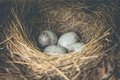 Blue Bird Eggs Royalty Free Stock Photo