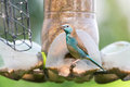 Blue bird on feeder a waxbill eating at a Stock Photography