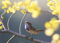 Blue bird sings in the spring garden on a blossoming tree branc Royalty Free Stock Photo