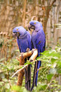 Blue birds. Stock Images