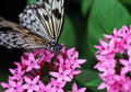 The blue black with white stripe butterfly sitting on red flower Royalty Free Stock Photo