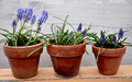 Blue blowers on clay pots Royalty Free Stock Photo