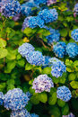 Blue, blue, pink flowers Hydrangea in the old town of Perast Royalty Free Stock Photo