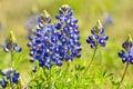 Blue Bonnet Royalty Free Stock Photo