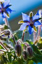 Blue borage, star flower Royalty Free Stock Photo