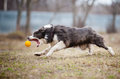 Blue Border Collie dog playing with a toy ball Royalty Free Stock Image