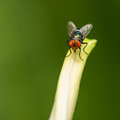 Blue bottle fly resting on leaf one Stock Image