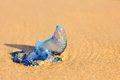 Blue Bottle Jellyfish in sand Royalty Free Stock Photo