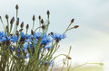 Blue bouquet of cornflower flowers with bokeh and copy space, floral abstract background. Summer time. Rustic style Royalty Free Stock Photo