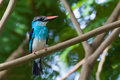 Blue breasted kingfisher a perched on a branch Stock Photography