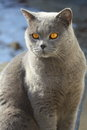 Blue british cat Stock Photography