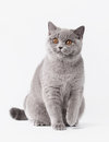 Blue british female cat on white background