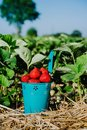 Blue bucket full of fresh pick juicy strawberries on a field on sunny day. Green foliage leaves in background Royalty Free Stock Photo