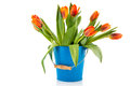 Blue bucket with orange tulips over white background Stock Photos