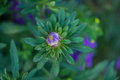 Blue bud asters blooming in the flowerbed Royalty Free Stock Photos