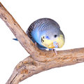 A blue budgie looking curiously at the camera isolated on white Royalty Free Stock Photos
