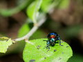 Blue bug tropical beetles with red dot on his head creeping under sunlight in summer on green area in nature with natural bokeh Stock Photography