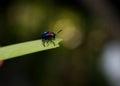 Blue bug Royalty Free Stock Photo
