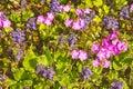 Blue bugle and primula flowers ajuga reptans sieboldii spring Stock Photo