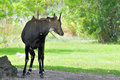 Blue Bull (Nilgai) Antelope Stock Photo