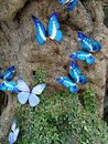 blue butterflies in nature