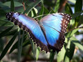 Blue butterfly Royalty Free Stock Photography